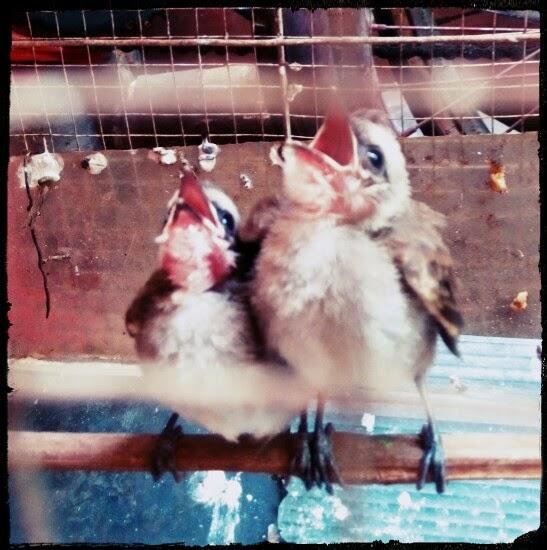 kicauan burung kutilang, aksi burung kutilang saat ingin makan
